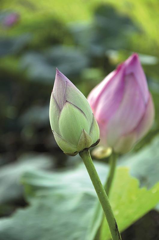 Ayurveda Pflanze